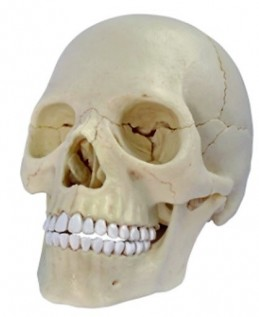 Anatomie člověka - lebka - Renčín Vladimír