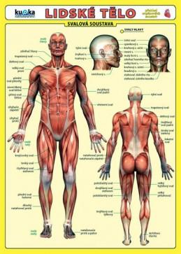 Lidské tělo - Přehled orgánových soustav - Svalová soustava - Kupka a kolektiv Petr